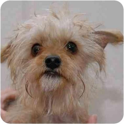 maltese yorkie mix rescue yorkie terrier mix for adoption in new york