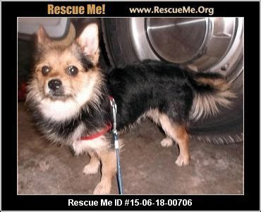 michigan pomeranian rescue 17 best ideas about pomeranian rescue on pomeranians pomeranian puppy and