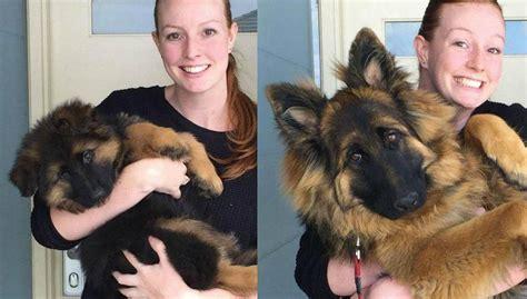 puppy growth spurts puppy s growth spurt captured in photos