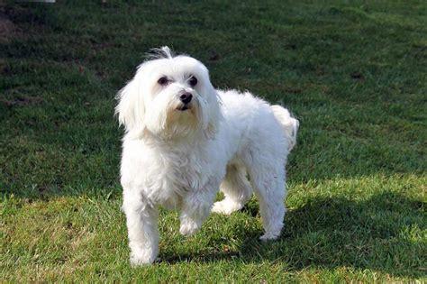 alimentazione cani maltesi i cani maltesi caratteristiche