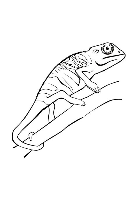 chameleon coloring page chameleon free colouring pages
