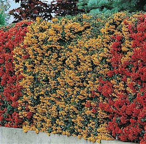 coltivare il proprio giardino piracanta come coltivarla nel proprio giardino