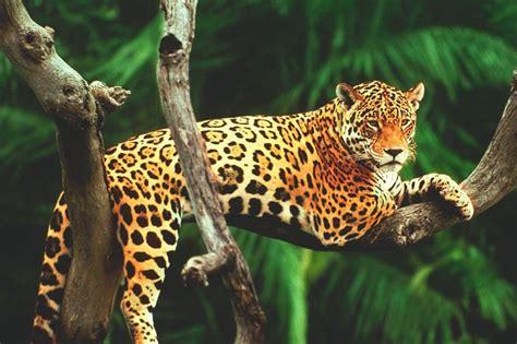 imagenes del jaguar en su habitat 191 qu 233 comen los jaguares