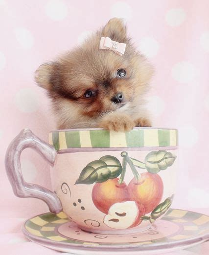 pomeranian puppies reno 227 best images about pomeranian dogs on teddy pomeranian teddy