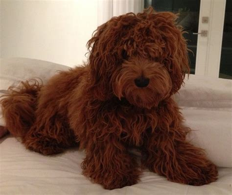 Goldener Schnitt Englisch by 17 Best Ideas About Goldendoodle Grooming On