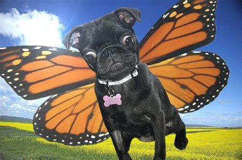 pug butterfly pug butterfly pugs