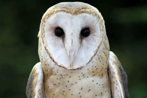 barn owl the cincinnati zoo botanical garden