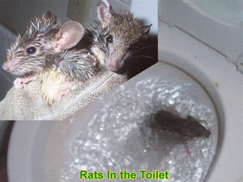 how to catch a rat in the house can a rat get into the house through the toilet