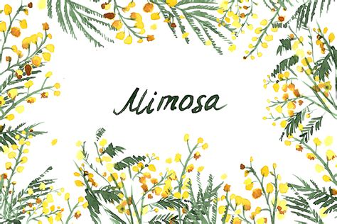 mimosa clipart mimosa flowers watercolor clipart mimosa