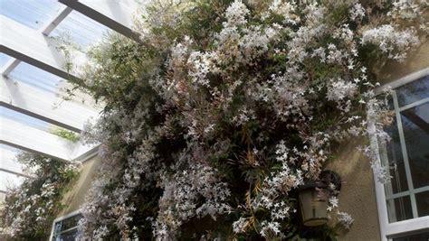gelsomino officinale in vaso gelsomino ricante piante per giardino coltivare