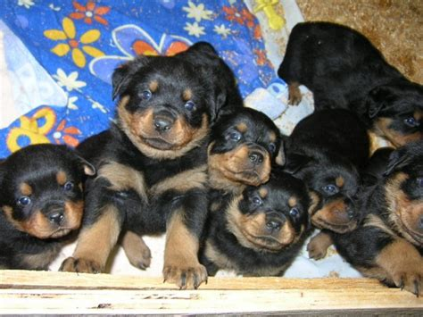 purebred rottweiler puppies pin purebred rottweiler puppies accepting deposits now 20153295jpg on