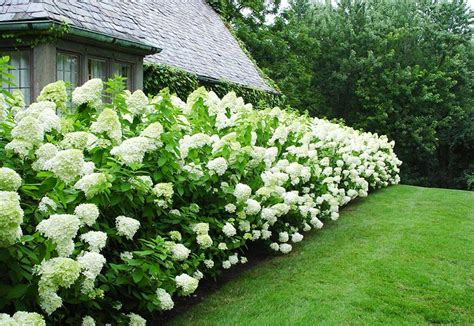 Landscape Pictures With Hydrangeas Limelight Hydrangea Ecogreen Landscaping