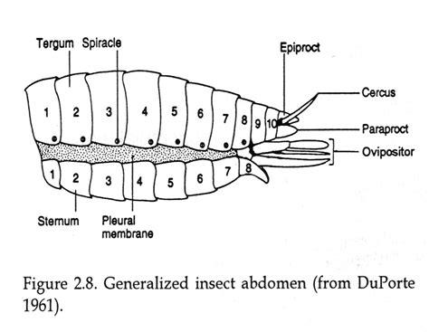 abdomen sections abdomen sections far away caryl churchill pinterest
