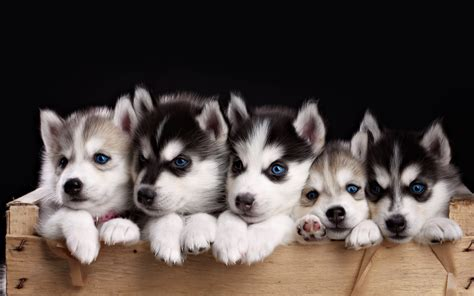 puppy wallpaper free husky puppy wallpapers phone 171 wallpapers