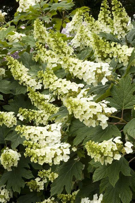 38 best Pacific grove plants images on Pinterest | Garden ... Oak Leaf Hydrangeas In Winter