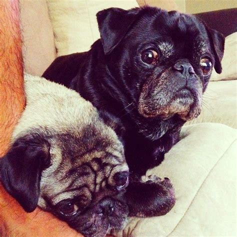 why do pugs flat faces local pug does not trust new walker flat faced dogs posts pug and