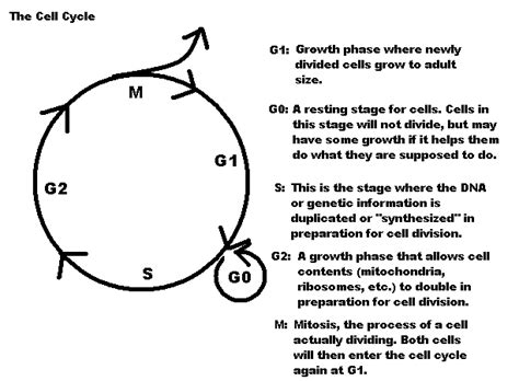 Cell Cycle Labeling Worksheet Answers by Blank Cell Cycle Diagram Blank Free Engine Image For