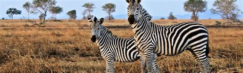 zebra pattern evolution checkpoints and repair systems as evidence for design