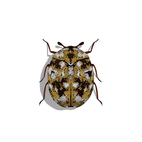 carpet beetles in couch fabric paper pests see pest and lawn solutions