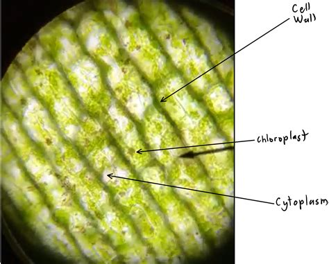 elodea cell diagram elodea leaf cell structure labeled theleaf co