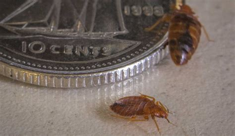 one bed bug bed bugs shapes and sizes what to look for pictorial