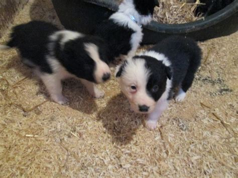 haired border collie puppies border collie puppies haired keighley west pets4homes