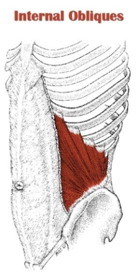 definitive guide  internal oblique anatomy