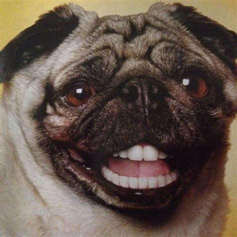 pug with dentures 1000 images about doggie dentures on