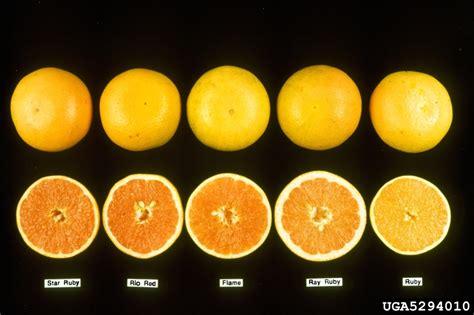 grapefruit citrus x paradisi sapindales rutaceae 5294010