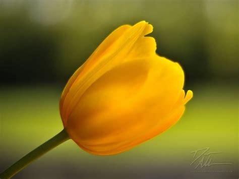 fiore giallo significato tulipani gialli significato fiori tulipani gialli