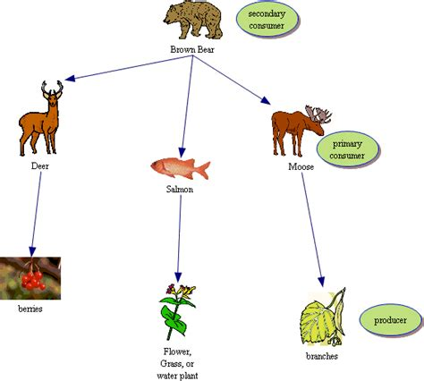 grizzly food chain diagram grizzly food chain diagram food