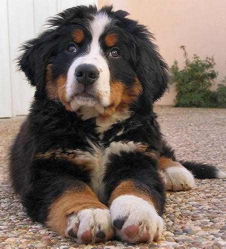 bernese mountain and poodle bernese mountain info temperament puppies pictures