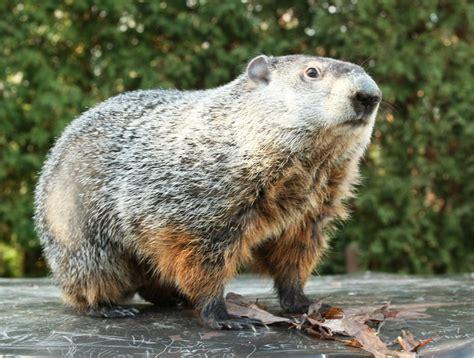 groundhog day run punxsutawney rails to trails groundhog jog set for
