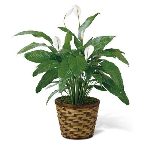 common house plants for funerals lepelplant spathiphyllum luchtzuiverende planten
