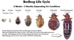 How Fast Do Bed Bugs Grow Termites