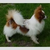 White German Shepherd Lab Mix Puppies | 442 x 387 jpeg 45kB