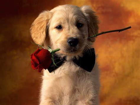 boca golden retrievers cachorro golden retriever con una rosa en la boca fondos de pantalla gratis
