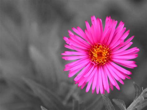 colore fiori un tocco di colore su sfondo grigio immagini e sfondi