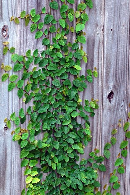 fig ivy fences yards and gardens