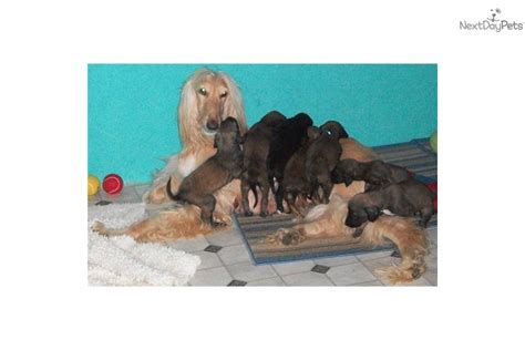 akc afghan hound puppies for sale afghan hound puppy for sale near springfield illinois be78947f 4271