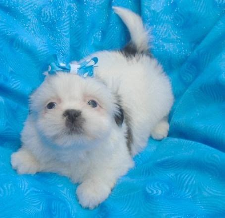 shih tzu for sale in san antonio tx shih tzu puppies for sale san antonio tx 204330 petzlover