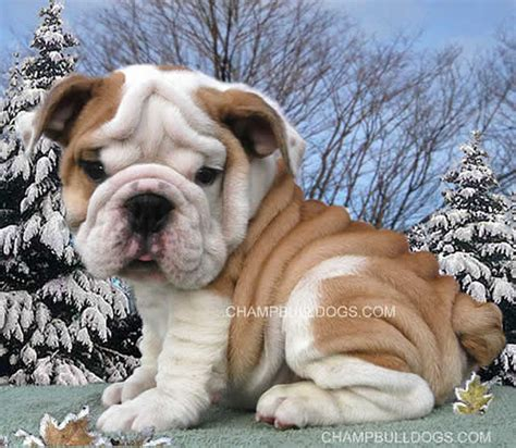 bulldog puppies for sale in pa bulldog puppies for sale bulldogs bulldog breeders