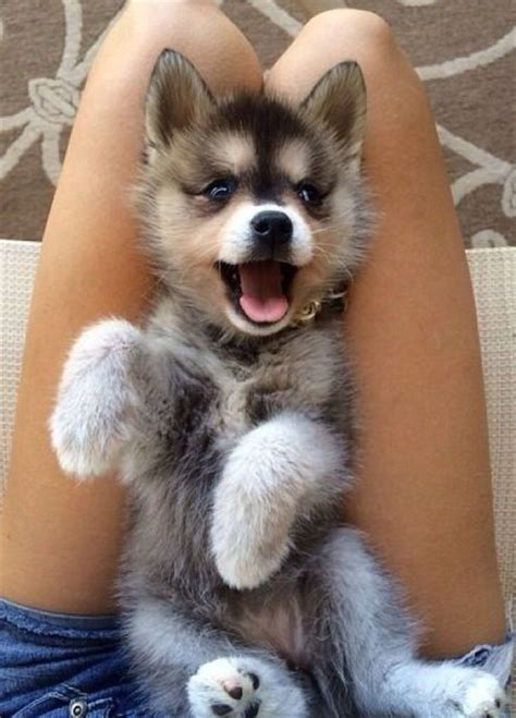 husky pomeranian mix cost all what you need to about the pomeranian husky urdogs