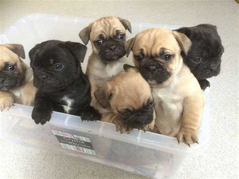 bull pug puppies beautiful bulldog x pug puppies for sale gillingham kent pets4homes