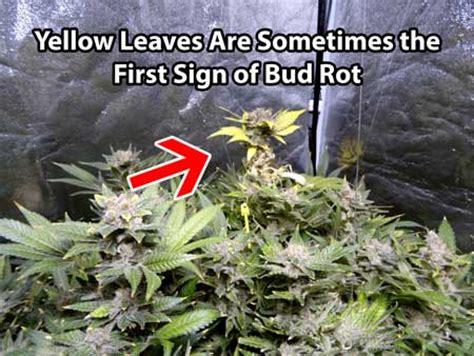 cannabis leaves turn yellow grow weed easy