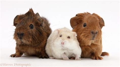 pig and 7 common myths about guinea pigs pet attack