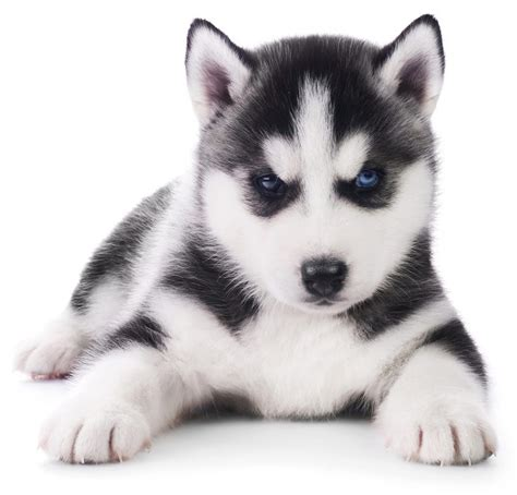 buy husky puppy popular puppy husky buy cheap 18 breathtaking husky golden retriever mixes