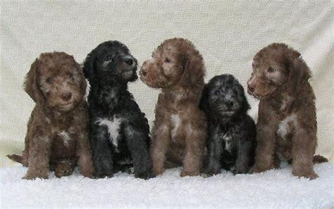 bedlington terrier puppies bedlington terrier puppies things that make me smile pinter