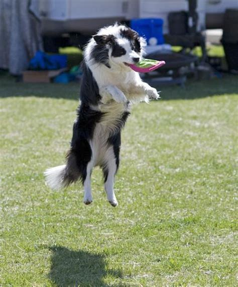 dogs at play border collie at play dogs photo 4410228 fanpop