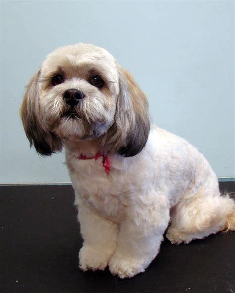 Cavachon Puppy Cut | image result for cavachon teddy bear cut puppy